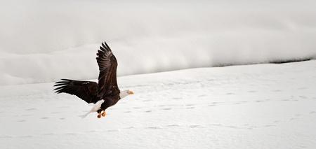 Flying Bald Eagle. Snow covered river. Alaska Chilkat Bald Eagle Preserve, Alaska, USA photo
