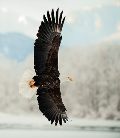 Flying Bald Eagle. Snow covered mountains. Alaska Chilkat Bald Eagle Preserve, Alaska, USA