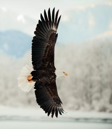 Voler Pygargue � t�te blanche. Montagnes couvertes de neige. Alaska Chilkat Bald Eagle Preserve, Alaska, USA Banque d'images