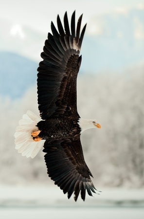 Flying Bald Eagle. Snow covered mountains. Alaska Chilkat Bald Eagle Preserve, Alaska, USA photo