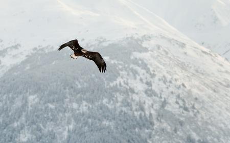 Flying Bald Eagle. Snow covered mountains. Alaska Chilkat Bald Eagle Preserve, Alaska, USA photo