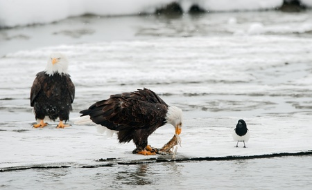 Bald Eagle feeding on the salmon with magpie. photo