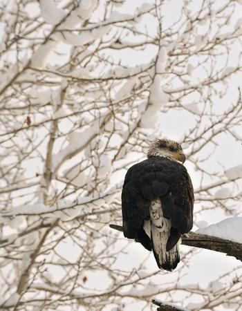 Portrait of an eagle of a dead tree sitting on a branch.Haliaeetus leucocephalus washingtoniensis. photo