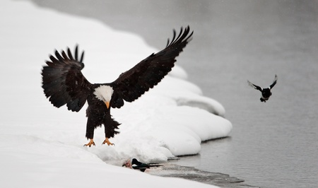 bird view: Bald Eagle Haliaeetus leucocephalus  landed on snow  with wings spread backward Stock Photo
