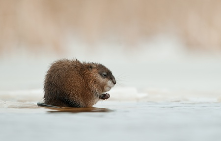 muskrat:  Wintering muskrat (Ondatra zibethicus)  on the edge of the ice . The first frosts, on the river there is an ice. Russia. Volkhov River