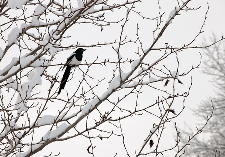 Black-billed magpie (Pica hudsonia) perched on a tree. Winter. Alaska photo