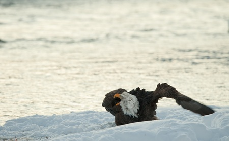 Shouting Bald Eagle on snow. The shouting Ba;d Eagle sits on snow to river Chilkat. photo