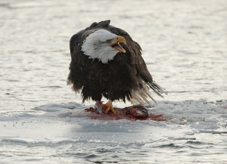 bird eating raptors:  Shouting Bald Eagle on snow.  Bald Eagle eats a salmon sits on snow to river Chilkat.