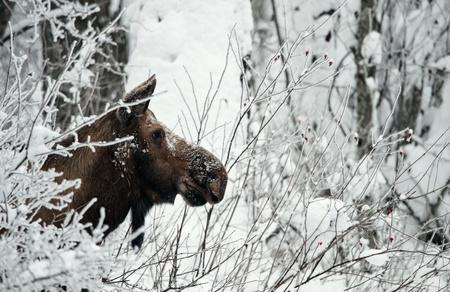 Winter Portrait of an moose. An moose in snow-covered bushes.Alaska moose, Tundra moose, Yukon moose (Alces alces gigas), female in winter, USA, Alaska 写真素材