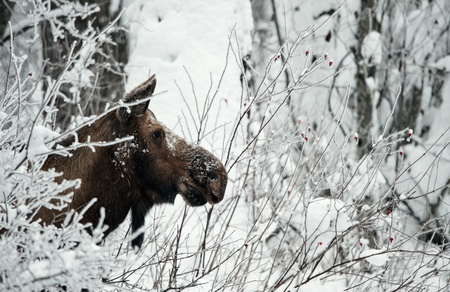 Winter Portrait of an moose. An moose in snow-covered bushes.Alaska moose, Tundra moose, Yukon moose (Alces alces gigas), female in winter, USA, Alaska Stock Photo