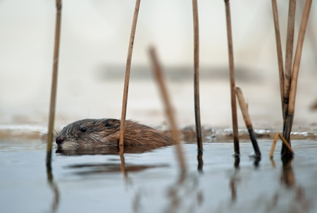 muskrat: Swimming Muskrat ( Ondatra zibethica ). Winter. Ladoga Lake  Stock Photo