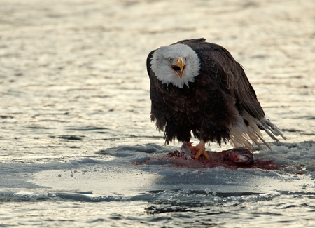 Shouting Bald Eagle on snow.  Bald Eagle eats a salmon sits on snow to river Chilkat. photo
