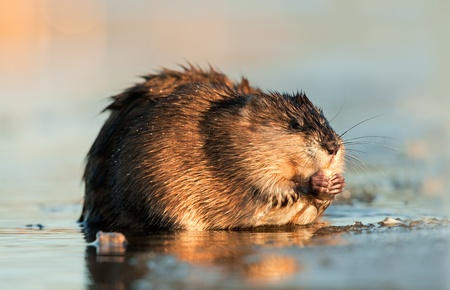 Muskrat ( Ondatra zibethica ) in beams of sunset light on ice. Winter. Ladoga Lake photo