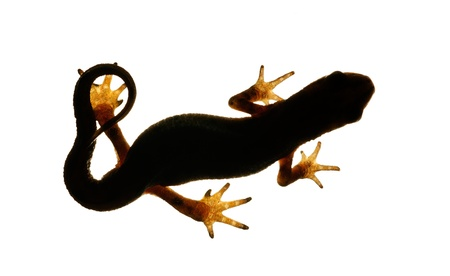 palmate: Palmate newt. Dark silhouette of a newt isolated on a white light background. Triturus helveticus. Lissotriton helveticus.