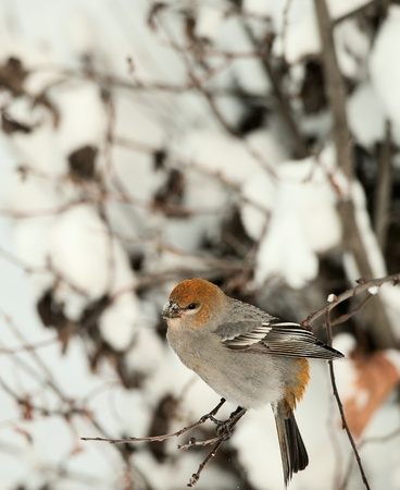 A female Pine Grosbeak (Pinicola enucleator) perched in snow-covered  tree. The Pine Grosbeak (Pinicola enucleator) is a large member of the true finch family, Fringillidae. photo