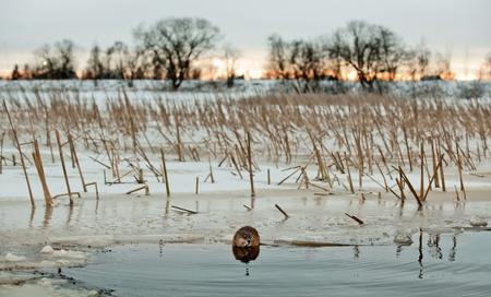 muskrat: Muskrat(Ondatra Zibethica)  on an ice edge. The muskrat sits on an ice edge. Evening twilight