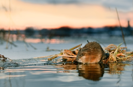 A muskrat (Ondatra Zibethicus) on a decline on the brink of ice at a feeding place photo
