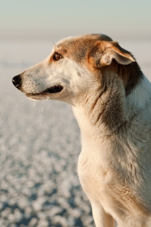 Portrait of a dog on a snow background in the light of the coming sun. Stock Photo - 12193305