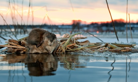 muskrat: A muskrat (Ondatra Zibethicus) on a decline on the brink of ice at a feeding place Stock Photo