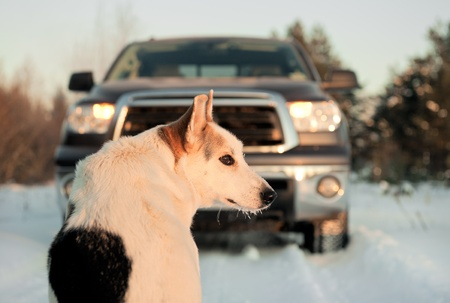 Winter portrait of a dog. A winter portrait of the dog  on snow in front of car. photo