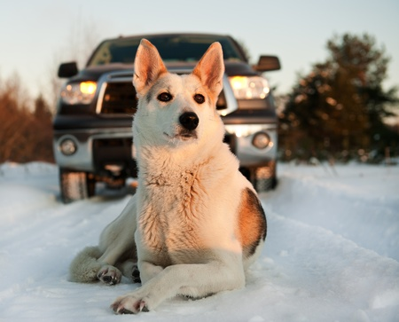 Winter portrait of a dog. A winter portrait of the dog  on snow in front of car.