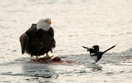 Eating  Bald Eagle on snow with magpie. The shouting Bald Eagle sits on snow to river Chilkat. photo