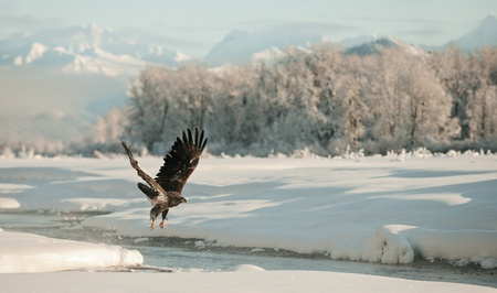 Bald Eagle flying against snow-covered mountains of Alaska. Sunset.  (Haliaeetus leucocephalus washingtoniensis) photo