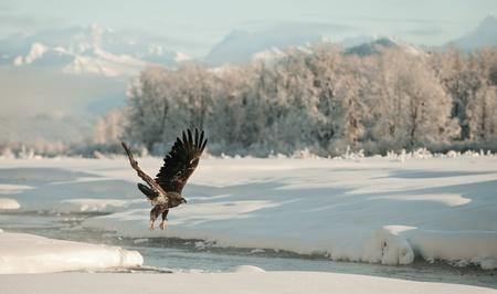 aerial animal: Bald Eagle flying against snow-covered mountains of Alaska. Sunset.  (Haliaeetus leucocephalus washingtoniensis) Stock Photo
