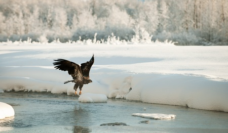 aerial animal: Bald Eagle flying against snow-covered mountains of Alaska. Sunset. Stock Photo