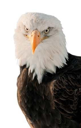 Close-up Portrait Bald Eagle (Haliaeetus leucocephalus washingtoniensis) isolated on white background. photo