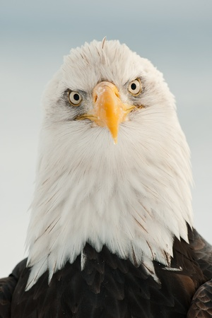 Close-up Portrait of Bald Eagle (Haliaeetus leucocephalus), Alaska, USA photo