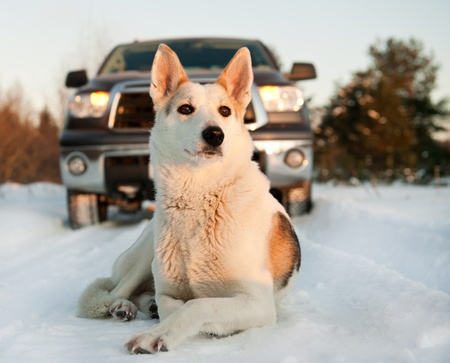 Winter portrait of a dog. A winter portrait of the dog  on snow in front of car. Stock Photo - 12602577