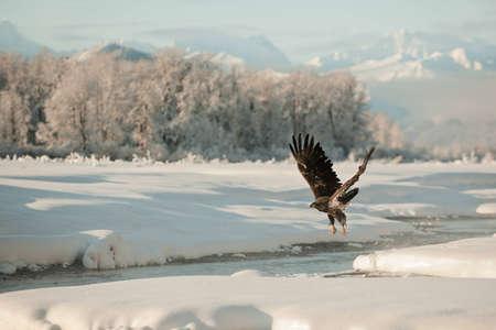 Bald Eagle (Haliaeetus leucocephalus  washingtoniensis )  flying against snow-covered mountains of Alaska. Sunset. photo