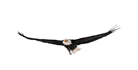 Flying Bald Eagle (Haliaeetus leucocephalus washingtoniensis). Isolated on white photo
