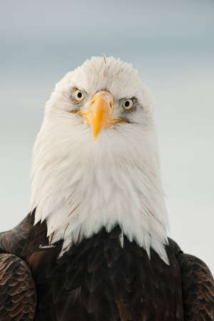 Close-up Portrait of Bald Eagle (Haliaeetus leucocephalus), Alaska, USA Stock Photo - 12602606