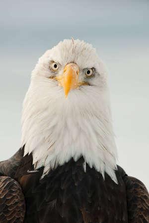 Close-up Portrait of Bald Eagle (Haliaeetus leucocephalus), Alaska, USA Stock Photo - 12602606