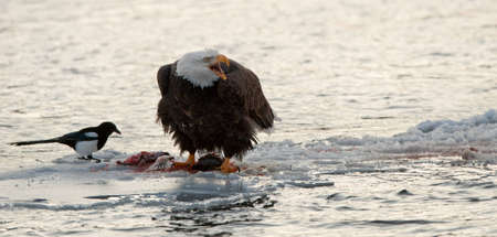 white salmon river: Bald Eaglee on an ice floe eats a salmon. Nearby magpie