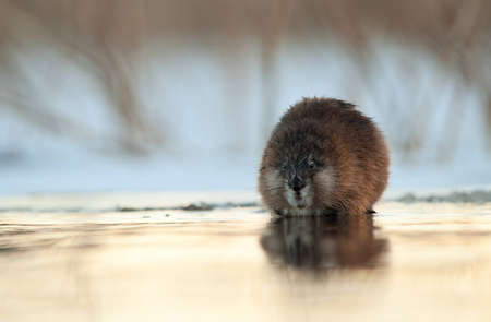 muskrat: Winter portrait of a muskrat. The muskrat sits on the brink of ice at water overgilded by the coming sun. Russia. Ladoga lake