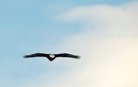 Flying Bald Eagle (Haliaeetus leucocephalus washingtoniensis) photo