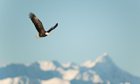 calvo: Flying Eagle (Haliaeetus leucocephalus washingtoniensis) sobre las monta�as cubiertas de nieve. El invierno en Alaska. EE.UU.