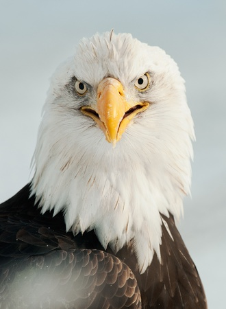yello: Close up Portrait of a Bald eagle (Haliaeetus leucocephalus washingtoniensis ) with an open beak .