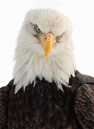 Winter Close up Portrait of a Bald eagle (Haliaeetus leucocephalus washingtoniensis ). Isolated on white photo