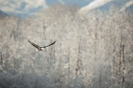 Flying eagle   Haliaeetus leucocephalus washingtoniensis   over snow-covered mountains  Winter Alaska  USA photo
