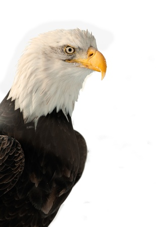 haliaeetus: Winter Close up Portrait of a Bald eagle  Haliaeetus leucocephalus washingtoniensis    Isolated on white Stock Photo