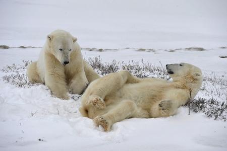 Polar bears playfool on the snow