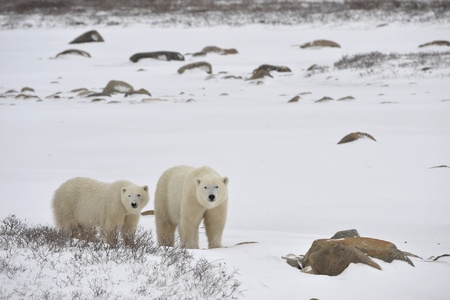 Two polar bears in snow-covered tundra  photo
