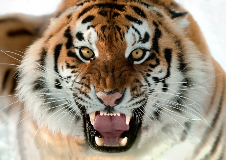 The Siberian tiger  Panthera tigris altaica  close up portrait  Isolated on white photo