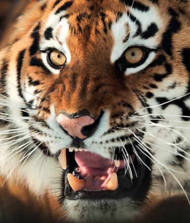 Le tigre de Sib�rie Panthera tigris altaica pr�s portrait isol� sur blanc