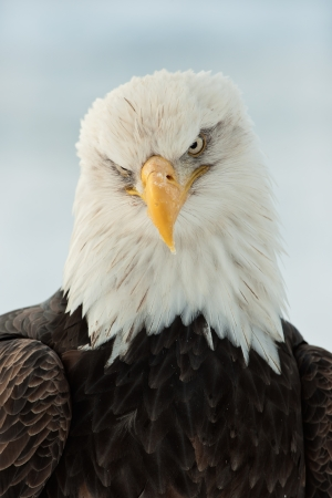 hawk: Winter Close up Portrait of a Bald eagle (Haliaeetus leucocephalus washingtoniensis ).
