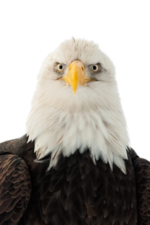Winter Close up Portrait of a Bald eagle (Haliaeetus leucocephalus washingtoniensis ). Isolated on white Stock Photo